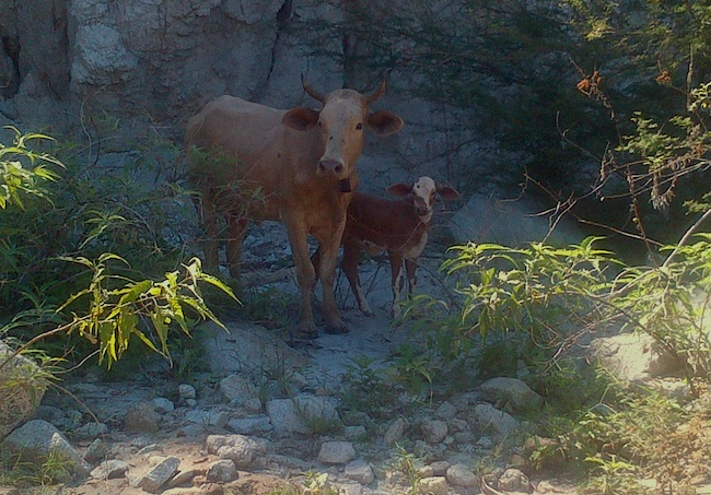 Cows in the Costa Azul Arroyo