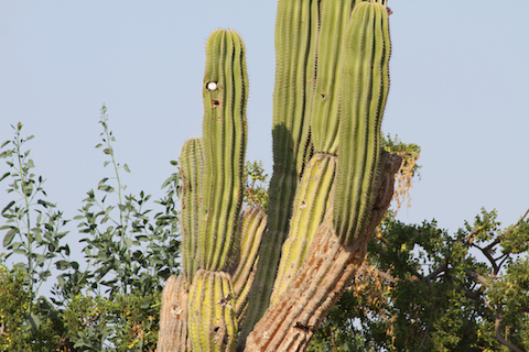 Golf Ball in a Cactus - Golfing in Cabo San Lucas Mexico