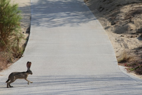 Rabbit on a Cabo golf cart path